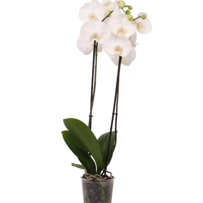 Orchidee Leeds (Phalaenopsis)  - 70cm