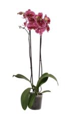 Gespikkelde orchidee Confetti