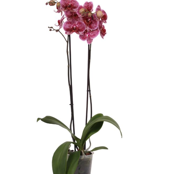 Confetti orchidee (Phalanaenopsis) - 70cm