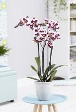 Gespikkelde orchidee Polly
