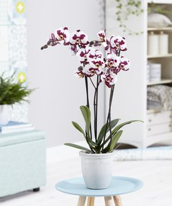Orchidee Polly