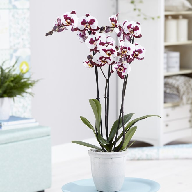 Polly orchidee 70cm high (Phalaenopsis)