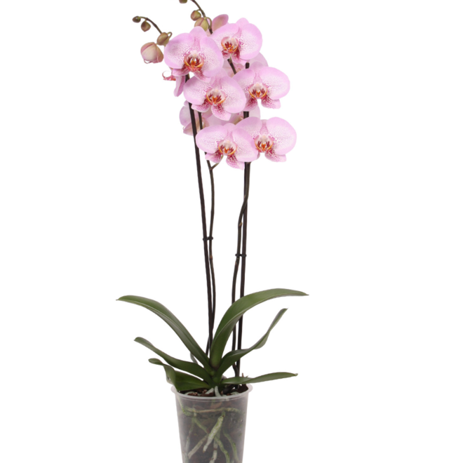 Green Bubble Hope orchidee (Phalaenopsis) - 70cm