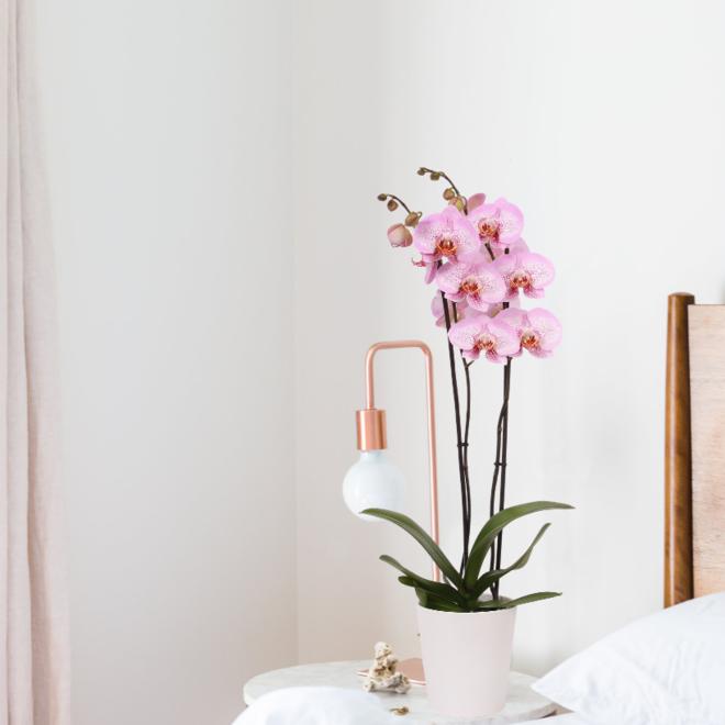 Hope orchidee (Phalaenopsis) - 70cm