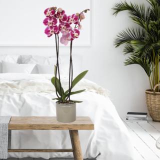 Shizzle orchid