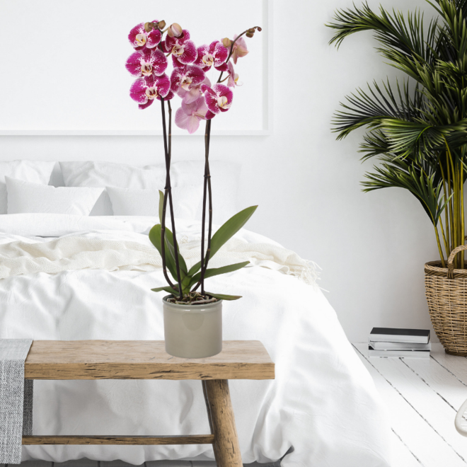 Orchidee Shizzle 70cm high (Phalaenopsis)