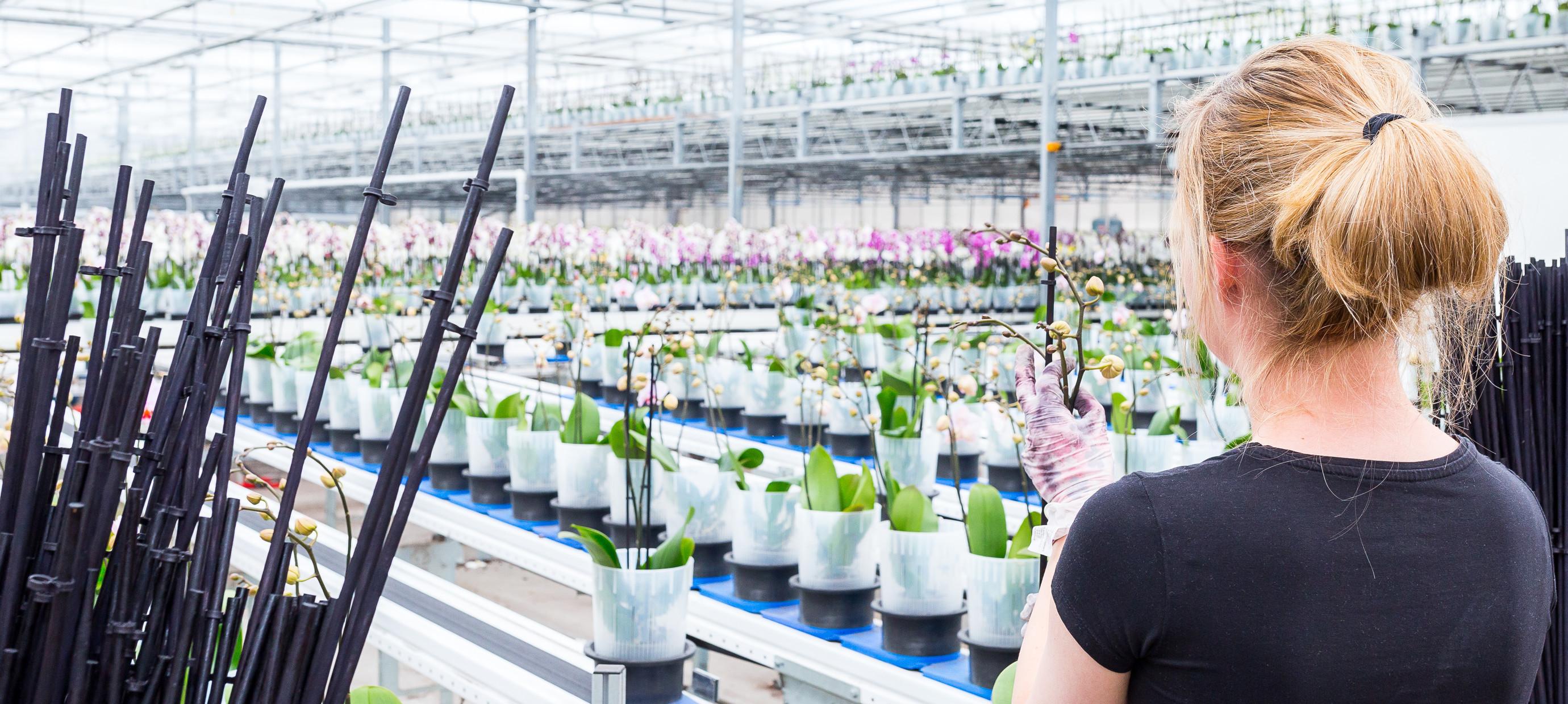 Een kijkje in onze orchideeën kwekerij