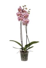 Green Bubble Gespikkelde orchidee Sprinkle