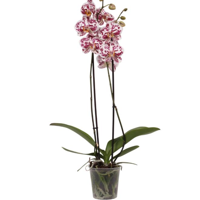 Orchidee Sprinkle (Phalaenopsis) - 70cm