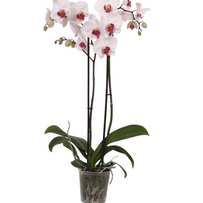 Cherry Kiss orchidee (Phalaenopsis) - 70cm