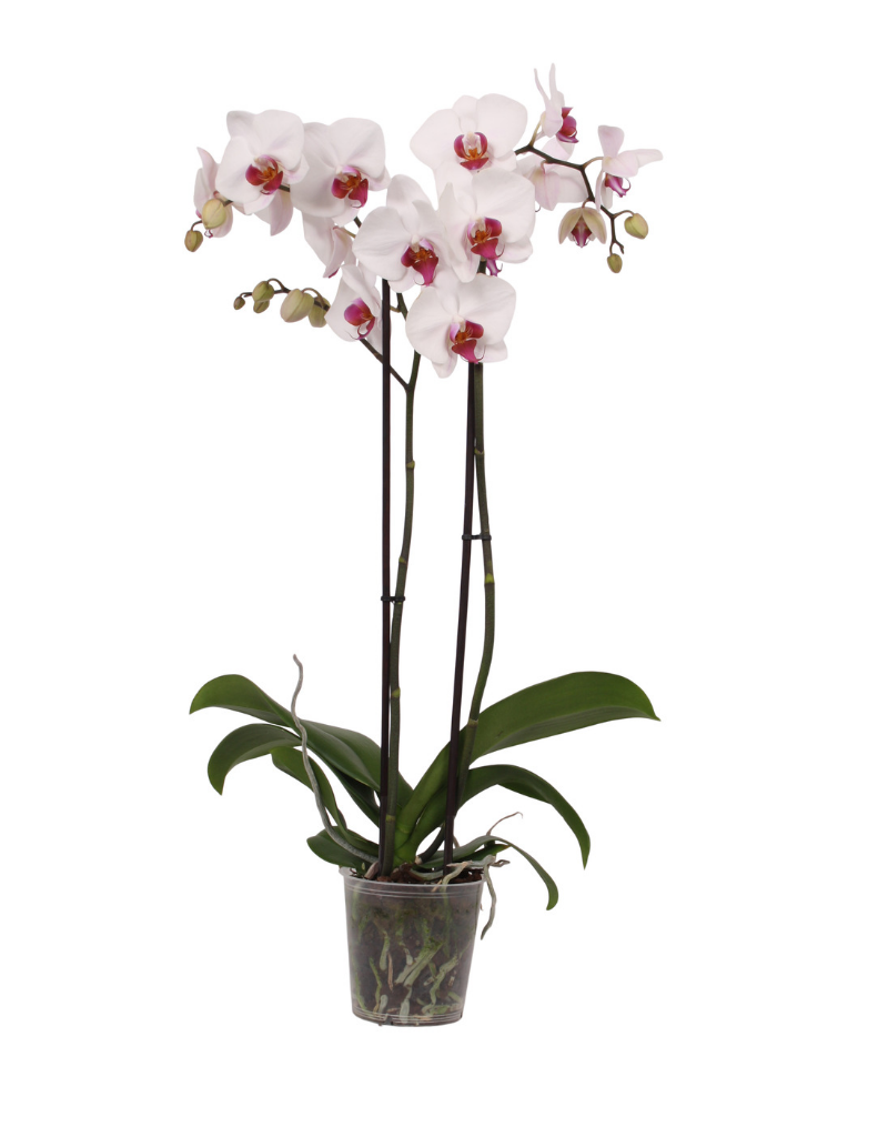 Green Bubble Orchidee Cherry Kiss
