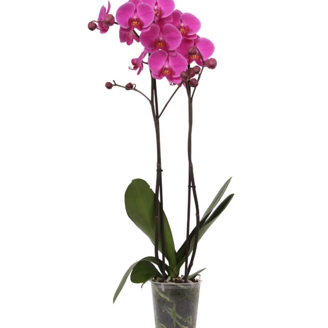 Fame orchid (Phalaenopsis) - 70cm