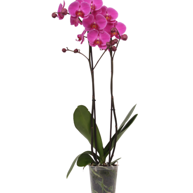 Green Bubble Fame orchidee (Phalaenopsis) - 70cm