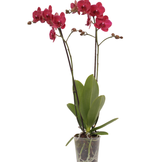 Rode orchidee  Bellini (Phalaenopsis) - 70cm