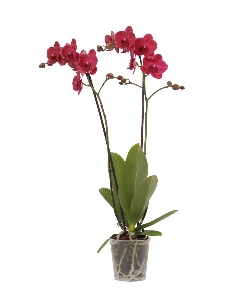 Green Bubble Rode orchidee Bellini