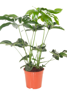 Green Bubble Philodendron Green Wonder