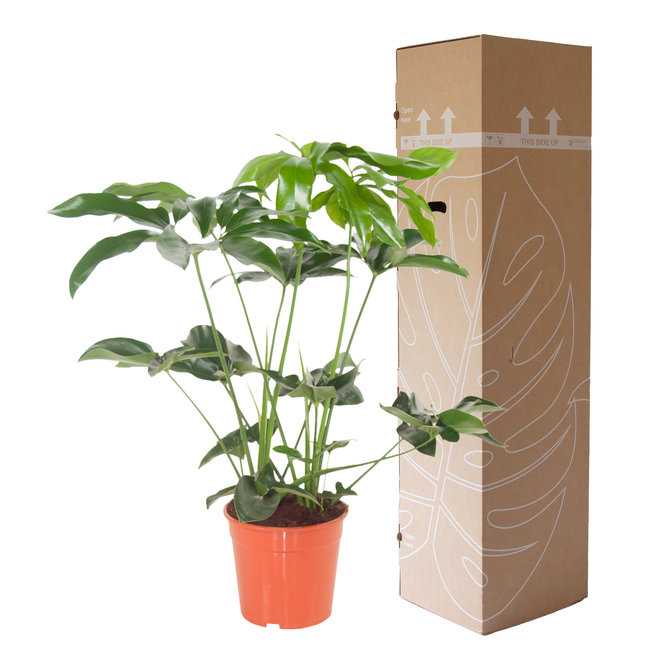 Philodendron Green Wonder - 80cm