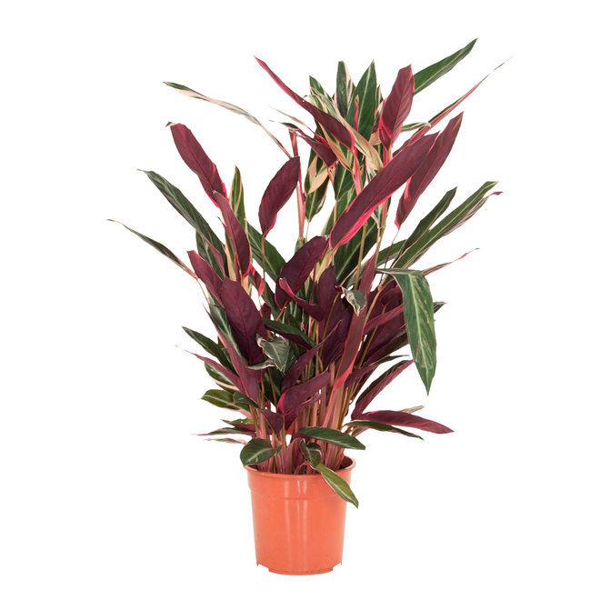 Calathea Stromanthe Triostar - 80cm