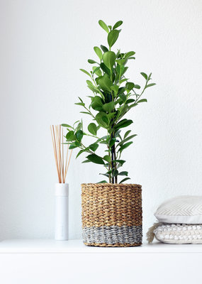 Green Bubble Ficus Moclame