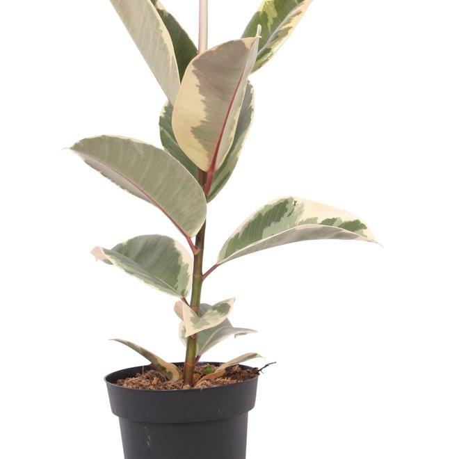 Ficus Tineke (Gummipflanze) - 25cm