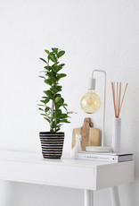Green Bubble Ficus Moclame in gestreepte mand