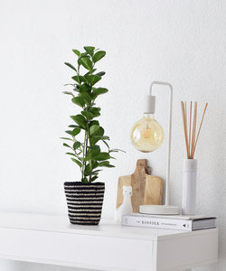 Ficus Moclame in gestreepte mand