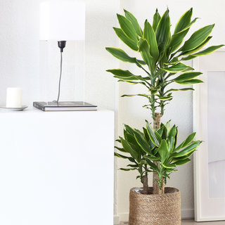 Dracaena Golden Coast in mand