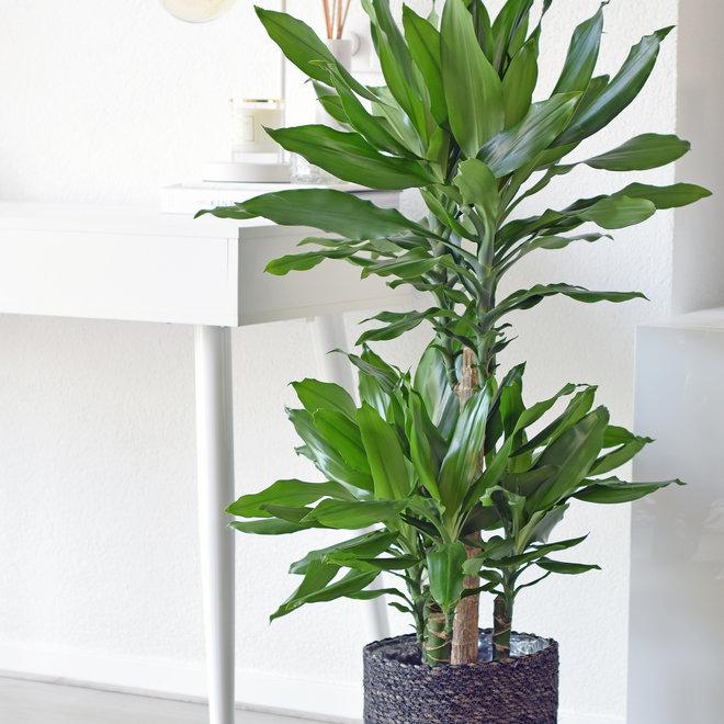 Dracaena Green - 100cm