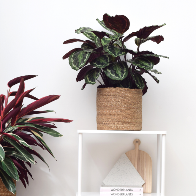 Shadow hunters pakket (2x grote schaduw-proof planten)