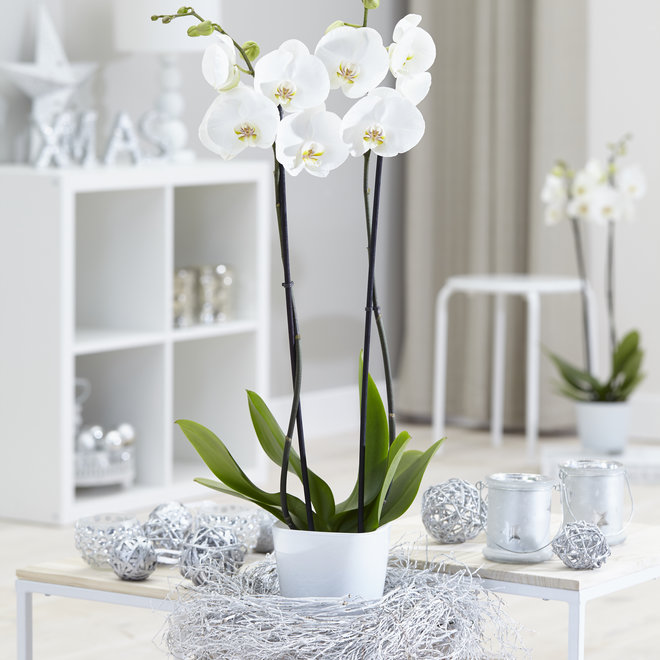 White World orchidee (Phalaenopsis) - 70cm