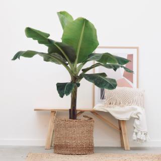 Bananenplant XL