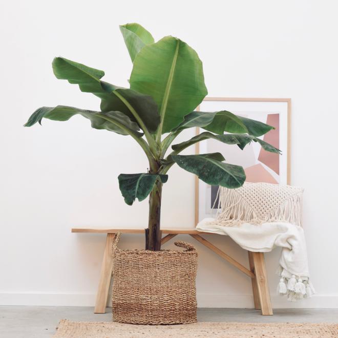 Bananenpflanze XL - 150 cm