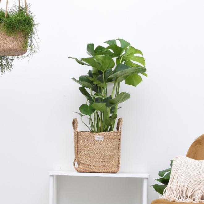 Monstera deliciosaMonstera deliciosa 80cm hoog (Gatenplant)