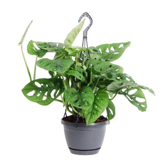 Hängepflanze Monstera Monkey Leaf - 30cm