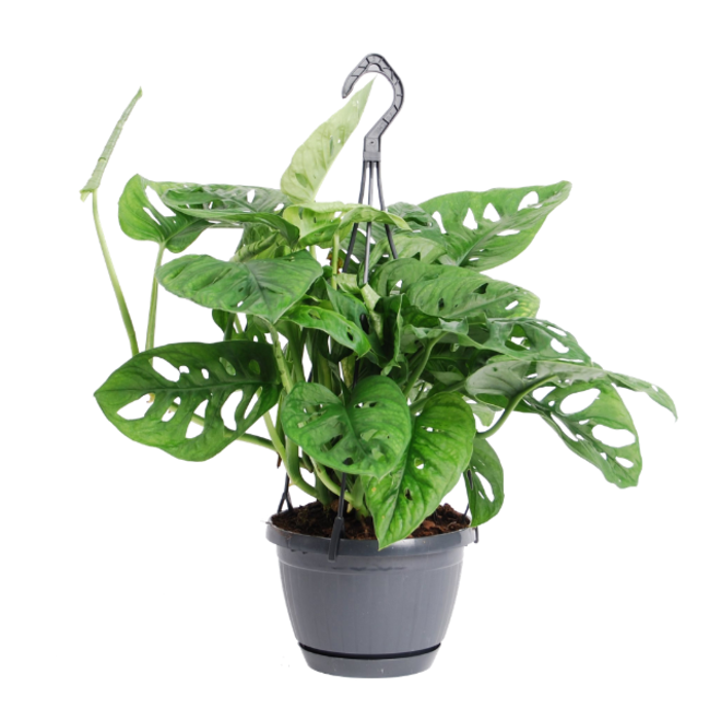 Hangplant Monstera Monkey Leaf - 30cm