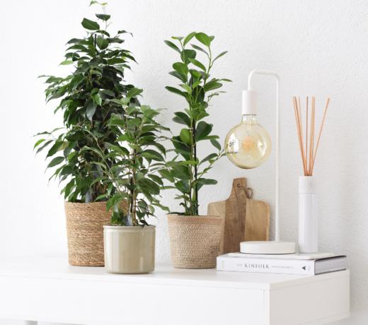 Tafelplanten