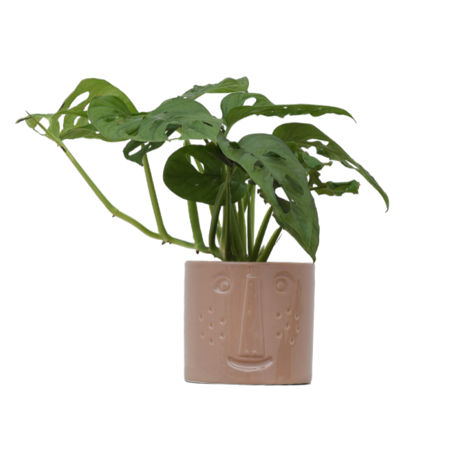 Monstera monkey leaf in pot - 40cm
