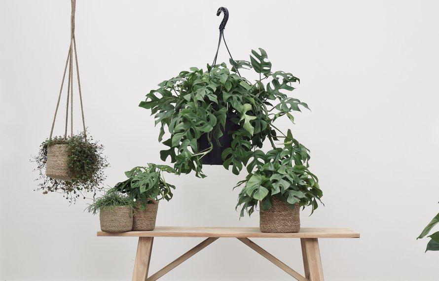 Alles wat je moet weten over de Monstera (gatenplant)