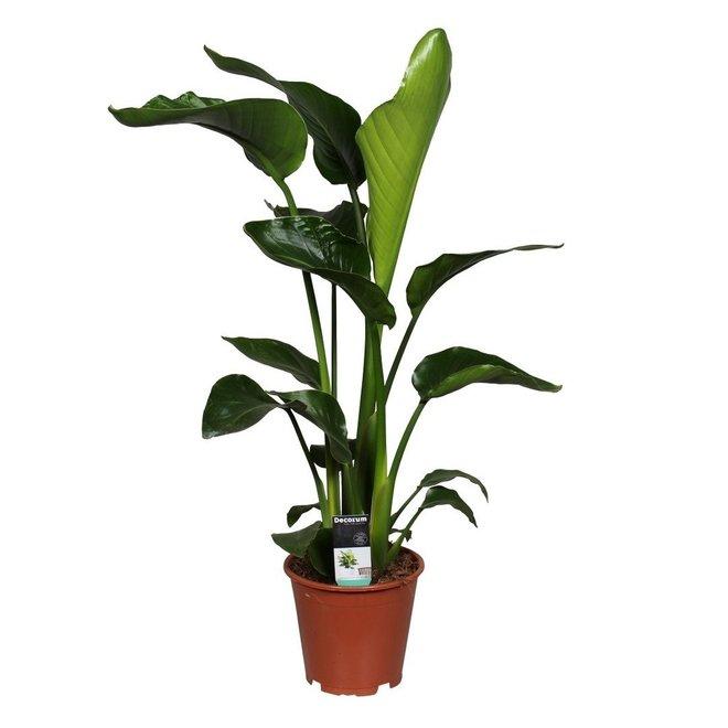 Strelitzia 80cm hoog (Bird op paradise plant)