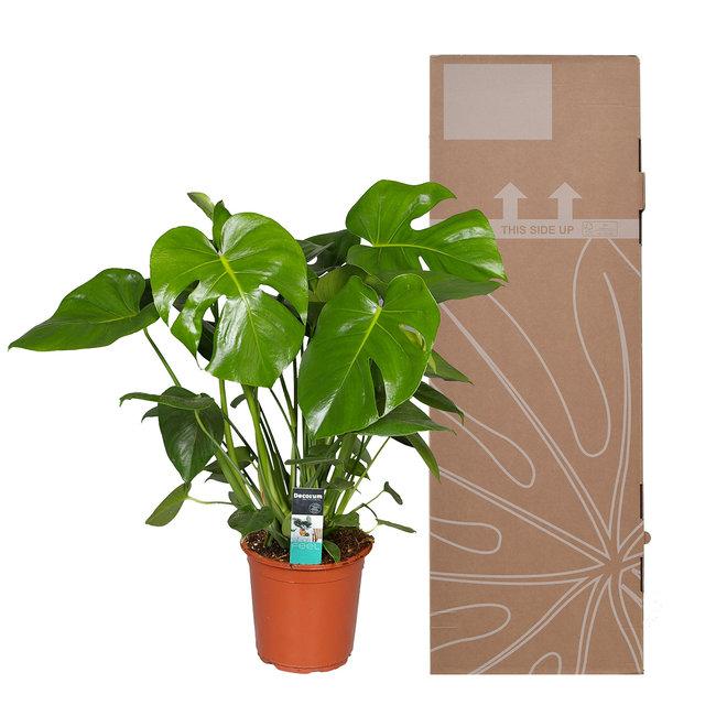 Monstera deliciosa 80cm hoog (Gatenplant)