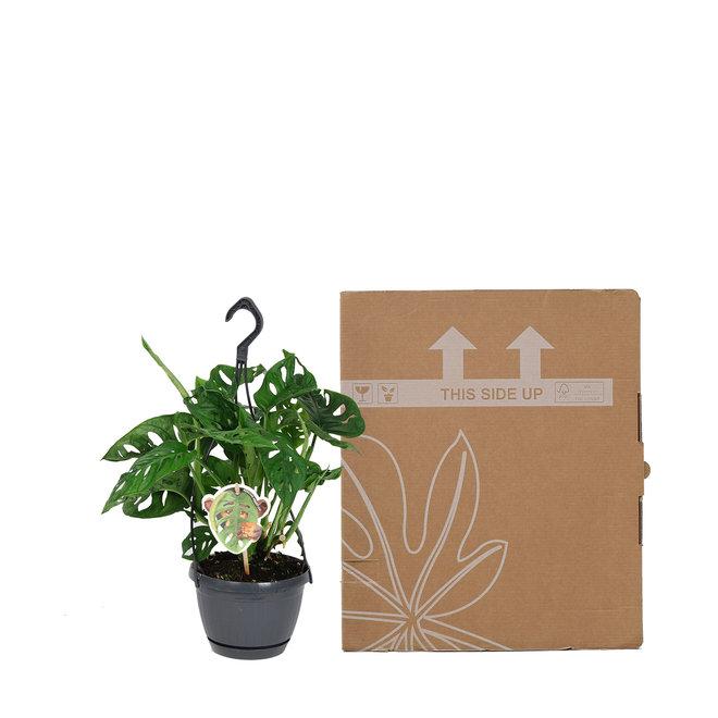 Hangplant Monstera monkey leaf (Gatenplant)