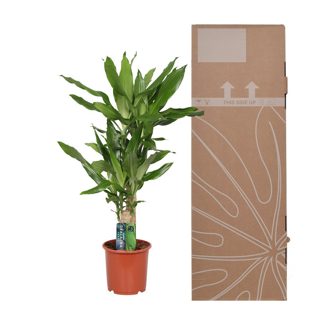 Mix - 2x Dracaena Green 80cm