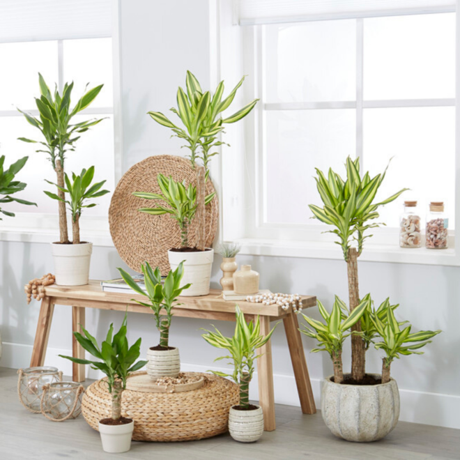 Dracaena pakket (6x diverse planten)