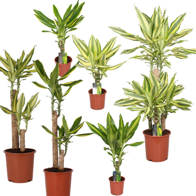 Combi deal - Dracaena pakket (6x  planten)