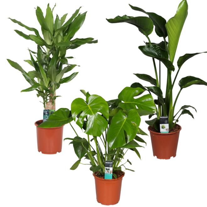 Jungle pakket (3x Tropische planten)