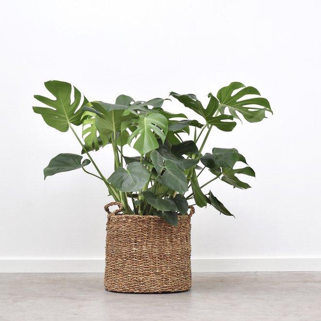 Monstera Deliciosa 90cm hoog (Gatenplant)