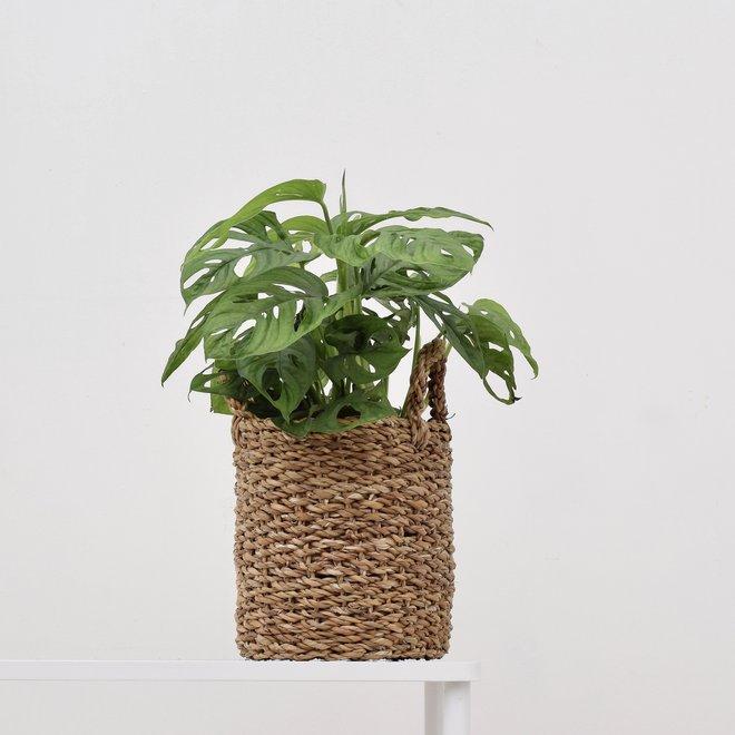 Monstera monkey leaf (Gatenplant)