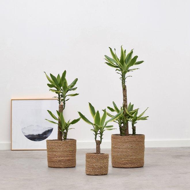 Dracaena Golden Coast trio (3x verschillende hoogte)