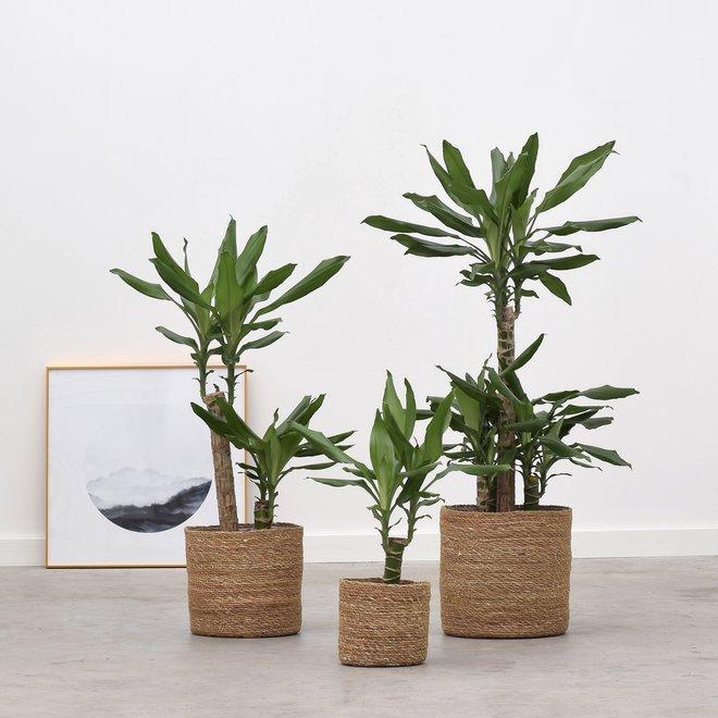 Dracaena Green trio (3x verschillende hoogte)