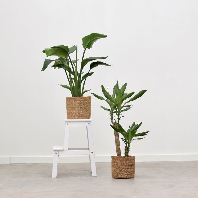 Mix - Dracaena Green + Strelitzia